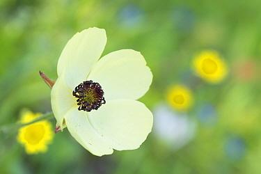 Turban buttercup (Ranunculus asiaticus) flowering. Cyprus. April.