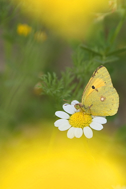 Clouded yellow butterfly (Colias crocea) nectaring on Mayweed (Anthemis sp) flower. Cyprus. April.