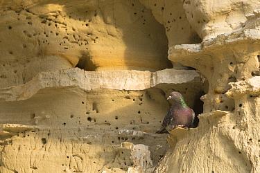 Rock dove / pigeon (Columba livia) perched on rockface. Cyprus. April.