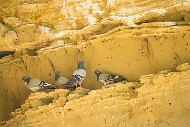 Rock dove / pigeon (Columba livia), four standing on ledge in rockface. Cyprus. April.
