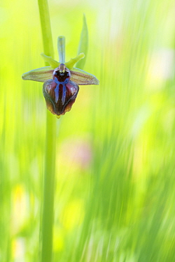 Early spider orchid (Ophrys sphegodes) flower. Cyprus. April.