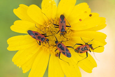 Capsid bug (Calocoris nemoralis), four feeding on Crown daisy (Glebionis coronaria) flower. Cyprus. April.