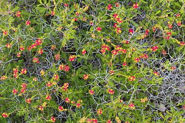 Thorny burnet (Sarcopoterium spinosum) Cyprus. April.