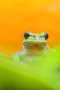 Lemon-yellow tree frog (Hyla savignyi) looking at camera, portrait. Cyprus. April.