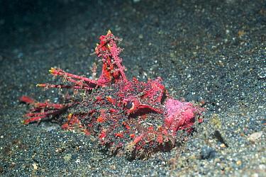 Devilfish /Stinger (Inimicus didactylus). Lembeh Strait, North Sulawesi, Indonesia.