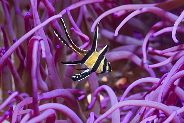 Banggai cardinalfish (Pterapogon kauderni) with a Corkscrew or Long tentacle anemone (Macrodactyla doreensis). Lembeh Strait, North Sulawesi, Indonesia.