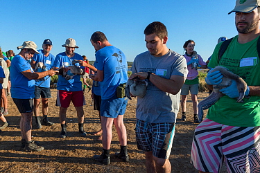 Volunteers holding Greater flamingo (Phoenicopterus ruber) juveniles to be measured during the ringing process, Fuente de Piedra lagoon, Malaga, Spain. August.