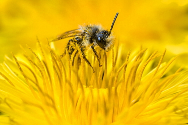 Ashy mining bee (Andrena cineraria), feeding on Dandelion (Taraxacum offinicale) Monmouthshire, Wales, UK. May.