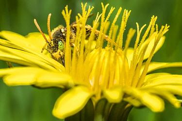 Painted nomad bee (Nomada fucata) feeding on Dandelion (Taraxacum offinicale) Monmouthshire, Wales, UK. April