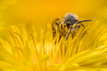 Ashy mining bee (Andrena cineraria) male feeding on Dandelion (Taraxacum officinale), Monmouthshire, Wales, UK, May.