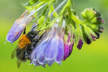 Tree bumblebee (Bombus hypnorum) feeding on Comfrey (Symphytum officinale), robbing nectar by piercing the flower base to drink nectar without pollinating, Monmouthshire, Wales, UK, May.