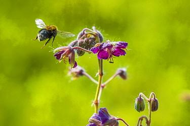 Tree bumblebee (Bombus hypnorum) feeding from Geranium flower, Monmouthshire, Wales, UK, May.