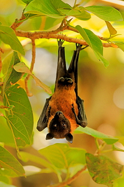 Indian Flying Fox , (Pteropus giganteus), roosting, India