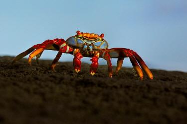 Sally lightfoot crab, (Grapsus grapsus), at sunrise, Galapagos