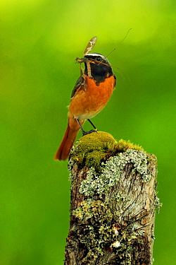 Redstart , (Phoenicurus phoenicurus) male with food for young, UK