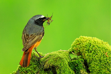Male Redstart , (Phoenicurus phoenicurus), with food for young, UK
