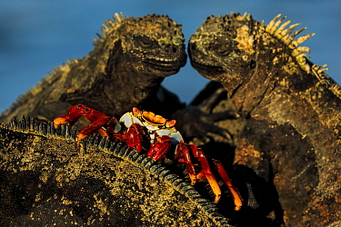 Sally lightfoot crab, (Grapsus grapsus), feeding on marine iguana parasites and dead skin, Galapagos