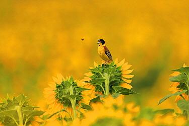 Black headed bunting, (Emberiza melanocephala), catching flies on sunflower crop, Bulgaria, June.