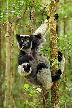 Indri Lemur, (Indri indri), in rainforest, Perinet, Madagascar