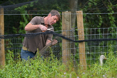 Jamie Craig of Cotswold Wildlife Park opening a temporary holding pen to allow captive reared juvenile White storks (Ciconia ciconia) to emerge on release day on the Knepp estate, Sussex, UK, August 2...