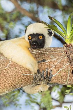 Decken's sifaka (Propithecus deckenii) Tsimembo area, Madagascar.  Lenses for Conservation project.