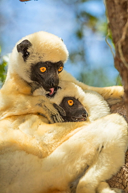 Decken's sifaka (Propithecus deckenii) grooming each other, Tsimembo area, Madagascar.  Lenses for Conservation project.