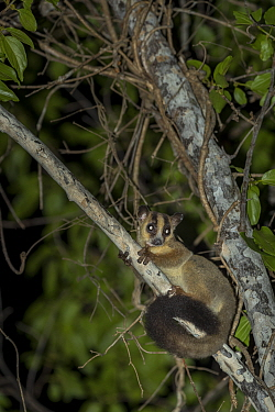 Pale fork-marked lemur (Phaner pallescens) in search for food at night, Kirindy Deciduous Forest, Madagascar. Lenses for Conservation project.