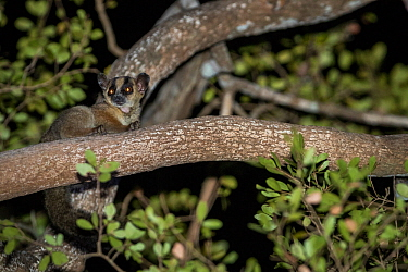 Pale fork-marked lemur (Phaner pallescens) at night, Kirindy Deciduous Forest, Madagascar. Lenses for Conservation project.