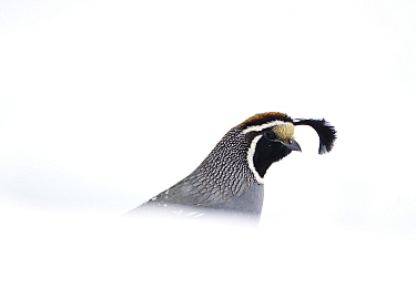 California quail (Callipepla californica), male emerging from behind snowbank in winter, Mono Lake Basin, California, USA
