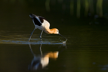 American avocet (Recurvirostra americana), adult in breeding plumage foraging by sweeping its bill from side to side through shallow water, Orange County, California, USA, April.