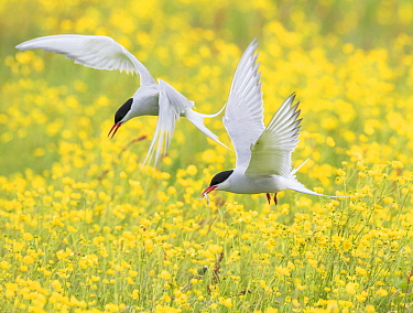Arctic terns (Sterna paradisaea), two in flight over nesting colony in field of buttercups (Ranunculus sp.), Keflavik, Iceland. Digital canvas expansion.