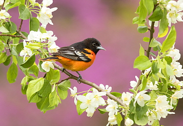 Baltimore oriole (Icterus galbula) male perched in pear (Pyrus sp.) blossom, eastern redbud in background, New York, USA. May.