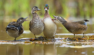 Wood Ducks (Aix sponsa), females behave aggressively toward a male (second from right) that is trying to join them on a floating log, autumn, New York, USA, October.
