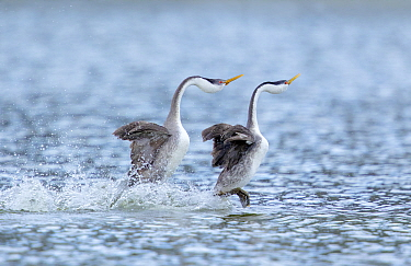 Western Grebe (Aechmorphus occidentalis), pair during 'rushing' courtship display in which they run across water's surface in synchrony, near Escondido, California, USA, January.