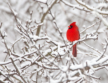 Northern cardinal (Cardinalis cardinalis) male perched amid snow-covered branches, New York, USA, February.