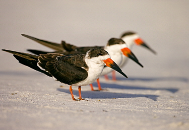 Black skimmers (Rynchops niger), three in non-breeding plumage on beach, Fort De Soto Park, St. Petersburg, Florida, USA. January. Digitally altered to remove distractions.