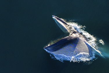 Aerial view of Fin whale (Balaenoptera physalus) lunge-feeding, with mouth open and throat pouch distended, southern Sea of Cortez (Gulf of California), Baja California, Mexico.