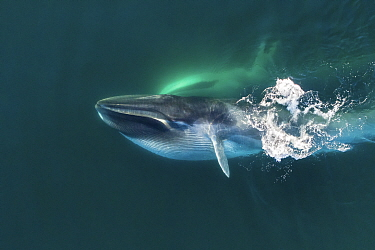 Aerial view of Fin whale (Balaenoptera physalus) lunge-feeding, with throat pouch distended, southern Sea of Cortez (Gulf of California), Baja California, Mexico.