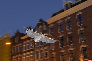 Grey heron ( Ardea cinerea) flying at night, Amsterdam, Netherlands. April.