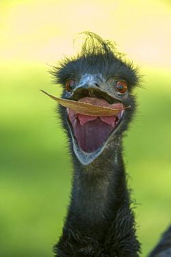 Emu (Dromaius novaehollandiae) juvenile with beak open to catch a leaf, Cleland Wildlife Park, South Australia, March. Captive.