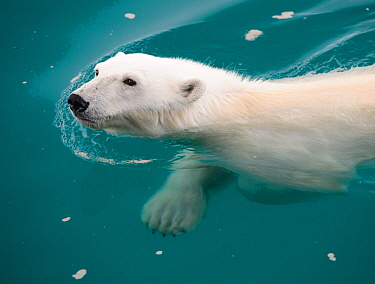 Polar Bear (Ursus maritimus) swimming, Nordaustlandet, Svalbard, Norway, July.