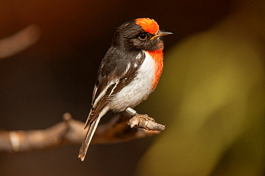 Red-capped Robin (Petroica goodenovii), a banded male, Alice Springs Desert Park, Northern Territory, Australia. May. Captive.
