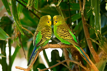 Budgerigar (Melopsittacus undulatus) pair facing each other on a tree branch, Rainforest Dome, Cairns, Queensland, Australia. (Wild morph). Captive.
