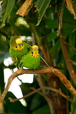 Budgerigar (Melopsittacus undulatus) pair mating on a tree branch, Rainforest Dome, Cairns, Queensland, Australia. (Wild morph). Captive.