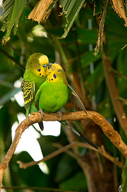 Budgerigar (Melopsittacus undulatus) pair nuzzling and mating on a tree branch, Rainforest Dome, Cairns, Queensland, Australia. (Wild morph). Captive.