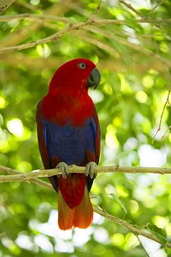Eclectus parrot (Eclectus roratus) female perched in a tree, The Wildlife Habitat Zoo, Port Douglas, Queensland, Australia. August. Captive.