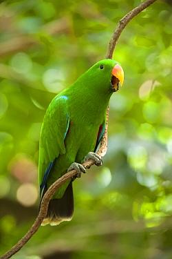 Eclectus parrot (Eclectus roratus) male perched on a tree vine, The Wildlife Habitat Zoo, Port Douglas, Queensland, Australia. August. Captive.