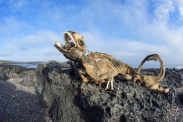 Marine iguana (Amblyrhynchus cristatus), starved to death due to the El Nino effect, Cape Douglas, Fernandina Island, Galapagos