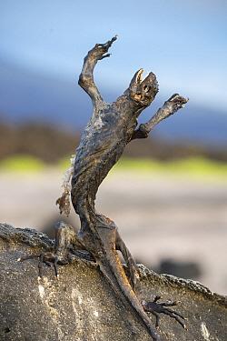 Marine iguana (Amblyrhynchus cristatus) starved to death due to El Nino effect, Puerto Ayora / Academy Bay, Santa Cruz Island, Galapagos