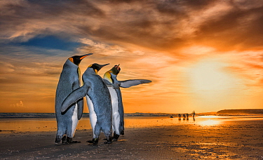 King penguins (Aptenodytes patagonicus) at sunrise. Two males and a female, with the males fighting for the attention of the female. Falklands Islands. 2018 Wildlife Photographer of the Year LUMIX Peo...